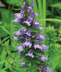 Lobelia, Great Blue, , large
